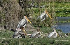Painted Stork - Buntstorch, Bharatpur, Keoladeo Ghana National Park (Sekitar) Tags: rajasthan india indian asia southasia south nature alam animal painted stork buntstorch bharatpur keoladeo ghana national park waterbird bird