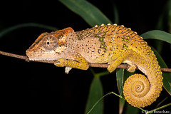 Pondo dwarf chameleon (Bradypodion caffer) (Theo Busschau) Tags: chameleon pondodwarfchameleon bradypodion dwarfchameleon reptile reptilemacro reptilesofsouthafrica reptilephotography reptiles herps herping herpingsouthafrica herpphotography herpetology lizard nature naturephotography ngc wildlife wildlifephotography macro macrophotography canon closeup canon6d cuteanimals