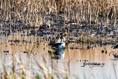 Knob-billed Duck, Marievale, Gauteng, March 2019 (roelofvdb) Tags: 115 duckknobbilled ducks knobbilledduck southernafricanbirds