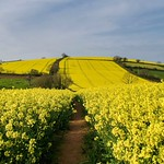 Through the Rapeseed Fields thumbnail