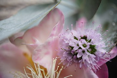 Garden Pastels (Too busy with Doctors' appointments) Tags: macromondays pastel camellia gum leaf blossom basil mint flower