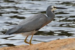 White Faced Heron 241018 (5) (F) (Richard Collier - Wildlife and Travel Photography) Tags: birds wildlife australia australianbirds whitefacedheron naturalhistory