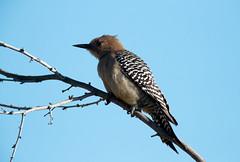 Red-bellied Woodpecker! (rambokemp) Tags: redbellied woodpecker wildlife gilber arizona riparian branch hopping bird blue sky