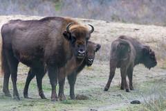 Wisente im Zuid Kennemerland National Park nahe Zandvoort in den Niederlanden