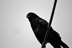 American Crow 5 (ahmed_eldaly) Tags: sandiego california usa nature birds birding wildlife photography egyptianphotographer