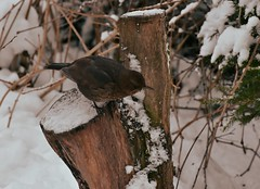 Blackbird (TheSaOk) Tags: yleluonto mustarastas blackbrid turdusmerula wildlife bird lintu snow talvi lumi winter branch eurasianblackbird lauttasaari helsinki suomi finland
