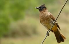 Dark-capped Bulbul (Pycnonotus tricolor) (berniedup) Tags: imfolozi hluhluweimfolozi darkcappedbulbul pycnonotustricolor bulbul taxonomy:binomial=pycnonotustricolor bird mphapha
