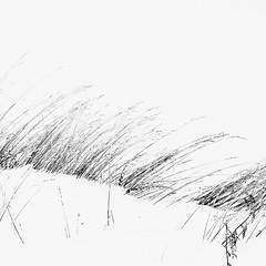 winter's brush strokes (vertblu) Tags: winter wintery wintry wintergrasses snow snowy snowcovered winterysnowy grass grasses grassblades fadedgrasses driedgrasses bsquare 500x500 vertblu minimal minimalism minimalismus minimallandscape smalllandscape bw mono