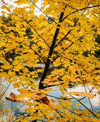 Yellow Leaves (v2) (Poul-Werner) Tags: ektar100 danmark denmark nrsundby lake park publicpark sø vand water nørresundby northdenmarkregion autumn leaves colours