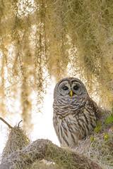 Barred owl portrait (agnish.dey) Tags: bird birding birdwatching portrait perched owl barredowl tree naturallight nature naturephotograph nikon naturethroughthelens animalplanet d500 florida wildlife coth