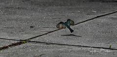 Bird taking off (Jeffrey Balfus (thx for 3.3 Million views)) Tags: sonyalpha sonya9mirrorless sonyilce9 fullframe emountsony100400mmg sal100400f35g