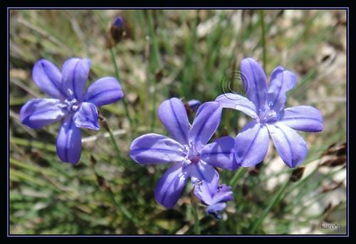 gentianes bleues du sud 4