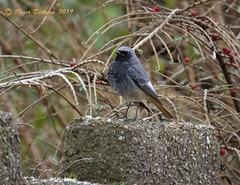 Black Redstart 07 (Roger Dickens) Tags: blackredstart phoenicurusochruros urbanbird southbirmingham pentaxda150400 pentaxk3