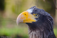 Sea eagle (Rene Mensen) Tags: sea eagle portrait bird blijdorp rotterdam zoo d5100 nikon nikkor rene mensen close up