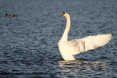IMG_2476 (LezFoto) Tags: swan mute cygnusolor loirstonloch aberdeen scotland unitedkingdom canoneos700d sigma 700d canon 120400mmf4556dgapooshsm digitalslr dslr canonphotography sigmalens
