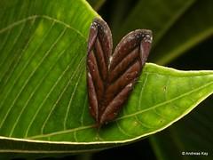 Pretty Moth, Hemicephalis paulina, Erebidae, Catocalinae or Erebinae/Catocalini (Ecuador Megadiverso) Tags: andreaskay ecuador id568 moth wildsumaco hemicephalispaulina erebidae catocalinae catocalini