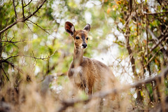 _RDP9742.jpg (DEARTH !) Tags: africa krugernationalpark dearth safari southafrica travel animals