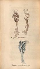 n165_w1150 (BioDivLibrary) Tags: greatbritain mollusks museumsvictoria bhl:page=57640374 dc:identifier=httpsbiodiversitylibraryorgpage57640374 conchologicaldictionary conchology shells britishisles britishislands williamturton british