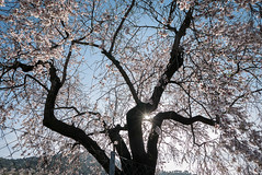 Flor del Almendro (Santi Vaquero) Tags: almendros olivares jaras belvís flor