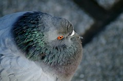 pigeon (Krystian38) Tags: birds bird pigeon grey nature closeup komine series series1 vivitar pentax