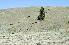 _DW67256.jpg (Upstate Dave) Tags: 2018 3 majorplaces yellowstone mammals bison yellowstonenationalpark