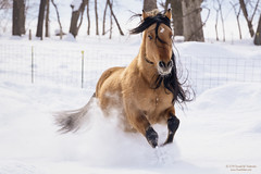 Santana (dtredinnick13) Tags: horse mustang running snow winter movement motion motionblur horsephotography action pasture frost morning morninglight nikon nikond850 nikon70200 wisconsin