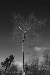 Root and branch (Barry Potter (EdenMedia)) Tags: barrypotter edenmedia nikon d7200 blackandwhite tree