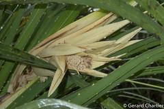 Pandanus odoratissimus (GeeC) Tags: tatai naturetours pandanusodorifer pandanales tracheophyta pandanus plantae marshwalkandstreamkayak nature kohkongprovince cambodia magnoliopsida pandanaceae lilianae vascularplants ឃុំទួលគគីរ kh