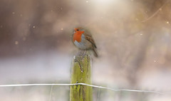 A Winters Song... #HFF #HappyFenceFriday (KissThePixel) Tags: nikon nikond750 robin winter spring snow fog fence hff happyfencefriday fencefriday friday march bird britishbird birdwatching longacremanor tamron tamron150600mm 150600mm bokeh macro makro