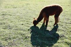 Alpaca 815 (Donna's View) Tags: nikon d3300 alpaca alpacaportrait closeup animal vicugnapacos farm