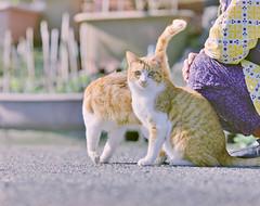 cat (428sr) Tags: pentax67 fujifilm pro400h 120 6×7 cat neko ねこ 猫