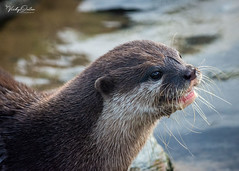 🇬🇧 Otter (vickyouten) Tags: otter nature naturephotography wildlife britishwildlife wildlifephotography nikon nikond7200 nikonphotography nikkor55300mm martinmere burscough uk vickyouten