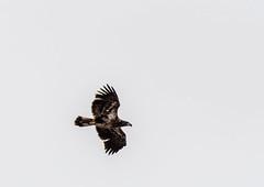 dawsonconservation2019-93 (gtxjimmy) Tags: nikond7500 nikon d7500 tamron 150600mm spring hadley massachusetts dawsonconservationarea connecticutriver eagle baldeagle raptor birdofprey