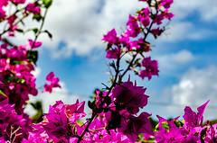 Fleurs... (gabriel.gallozzi) Tags: feurs flowers flores bahia brasil brésil