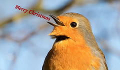 Merry Christmas Everybody (The Rustic Frog) Tags: merry christmas xmas robin singing brandon marsh nature reserve wild bird