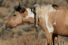 Some old mustang pictures (calljohn3) Tags: horses equine mustang steens oregon nature wild