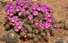 Cactus Flowers (Peter.Stokes) Tags: australia australian cactus colour colourphotography countryside flora flower flowersplants garden landscape landscapes native nature photo photography trees cactusflower