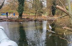 2017-11-20 | 01 | heron (Mark & Naomi Iliff) Tags: river thames caversham heron