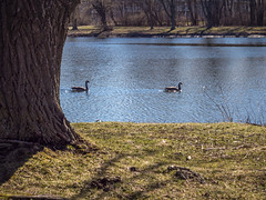 catch me if you can (wwnorm) Tags: northpondspark webstertrails websterny aquatic birds geese parks