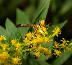 Wasp 15 (Christa R.) Tags: wasp creativecommons freephotos insects hymenoptera arthropoda