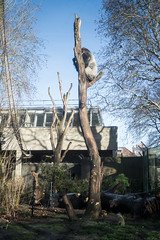 2019-01-18-12h24m55.IMG_3340 (A.J. Haverkamp) Tags: akili canonefm1855f3556isstmlens amsterdam zoo dierentuin httpwwwartisnl artis thenetherlands gorilla pobfrankfurtgermany dob16101994 boom tree