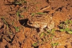 GUTTTOAD 0451 (bryanjsmith62) Tags: gutturaltoad amietophrynusgutturalis truetoads bufonidae amphibiansofsouthafrica ©bryanjsmith sclerophrysgutturalis