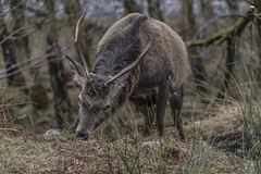 At the table of Kings (davidrhall1234) Tags: reddeer reddeercervuselaphus deer buck stag scotland highlands glens animal antlers countryside eating hungry nature nikon mammal outdoors wildlife world woodland