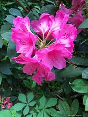 fleur-rose© (alexandrarougeron) Tags: photo alexandra rougeron flickr fleurs nature plante végétal végétale ville beauté couleur frais