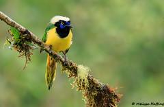 Inca Jay (Cyanocorax yncas) - Cosanga, EC (bcbirdergirl) Tags: cabanassanisidro sanisidrolodge greenjay incajay cosanga napo jay corvid cyanocoraxyncas