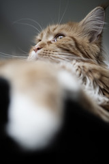 George (' A r t ') Tags: cat maincoon ginger relaxed ignore ignored animal hair frog perspective depth field pet