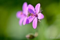 Duo lila. (EFD-fotolab) Tags: nikond610 nikon macrofotografia macro invierno naturaleza floressilvestres flores flowers