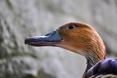 Duck (The Cuman) Tags: nikon nikond5000 nikonafs55200mmf456gdxifedvr werner animal animalplanet bird duck
