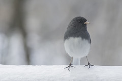 Ice Storm Bird (Junco-5) (-FlyTrapMan-) Tags: ice storm nature bird winter season