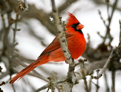 Super Red Songbird (Scott M. Mohn) Tags: northerncardinal bird vibrant colorful crimson songbird sonyilca99m2 wildlife nature perched cardinaliscardinalis mask crest beak tree branches winter cold minnesota feathers wings talons granivorous